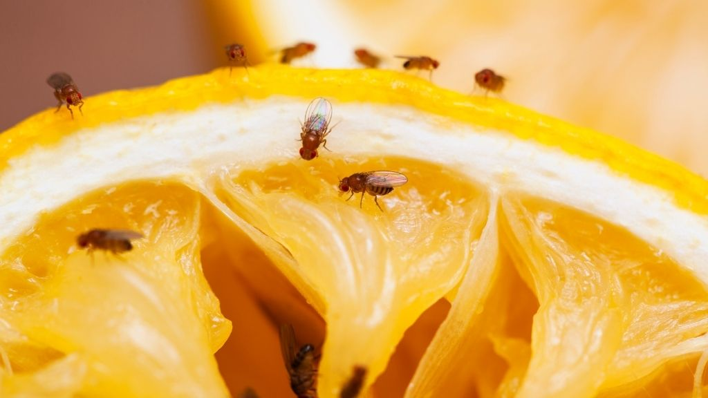 How to get rid of fruit flies traps